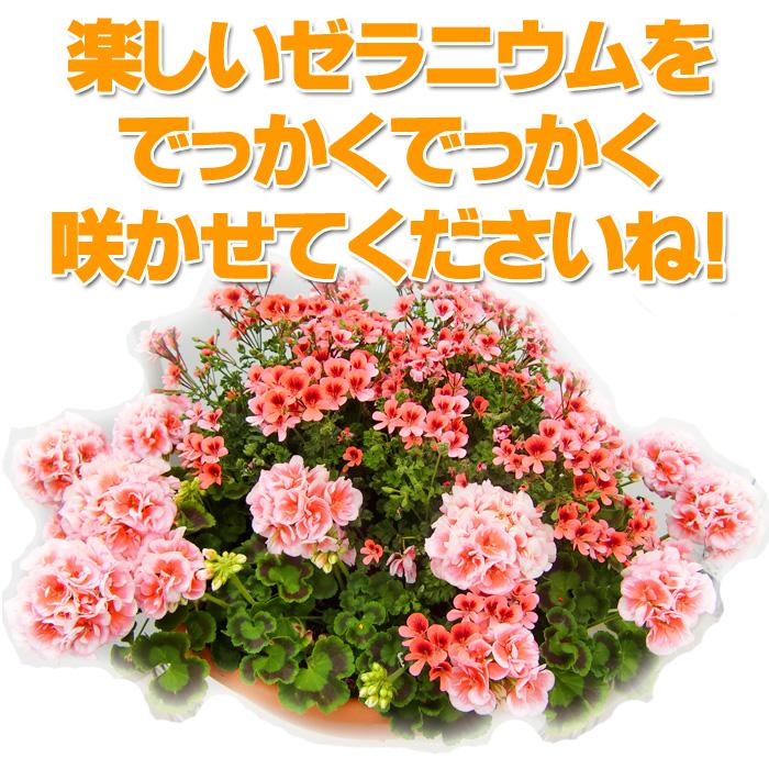 【全10色】【送料無料】ゼラニウム クオリティシリーズ 5号 2鉢セット ゼラニューム 【ラッピング・メッセージカード不可】