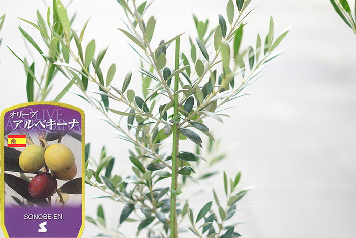 送料無料 オリーブの木 6寸 2鉢セット 全5種選び放題!スペインやギリシャ原産のレア品種もあります! チプレッシーノ アルベキーナ コロネイキ コラティーナ コレッジョラ【ラッピング・メッセージカード不可】