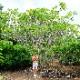 プルメリア レモンアイス lemon ice 5寸 1鉢 苗木 産地直送 タイのジャングルジャックス社の信頼のブランドです! 鉢植え 未開花株 ハイワイアンレイフラワー フランジパニ