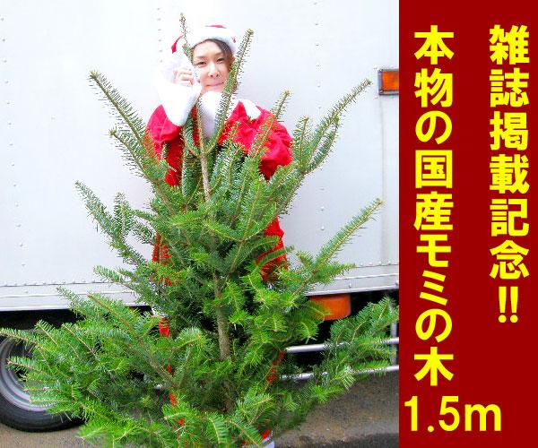 高さ:根鉢含め150cm もみの木クリスマスツリー 今年こそ!トウヒではない本物モミの木の生ツリー!鉢植えではないです【代引不可】