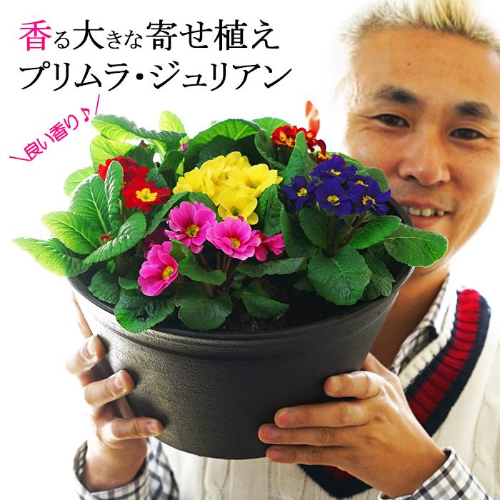香る大きな鉢植え プリムラ・ジュリアン 9号鉢 玄関やベランダに!【2鉢まで同梱可能】【メッセージカード不可、ラッピング不可】