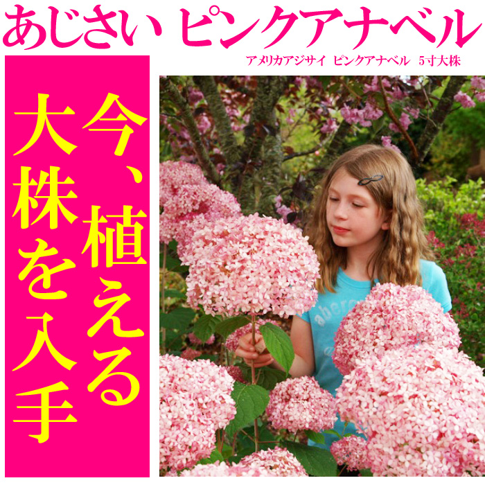 ピンクアナベル と 白いアナベル 5寸大株の苗【良いものから出荷しますので、遅い方は枝振りが少々少なくなります。】【ラッピング・メッセージカード不可】