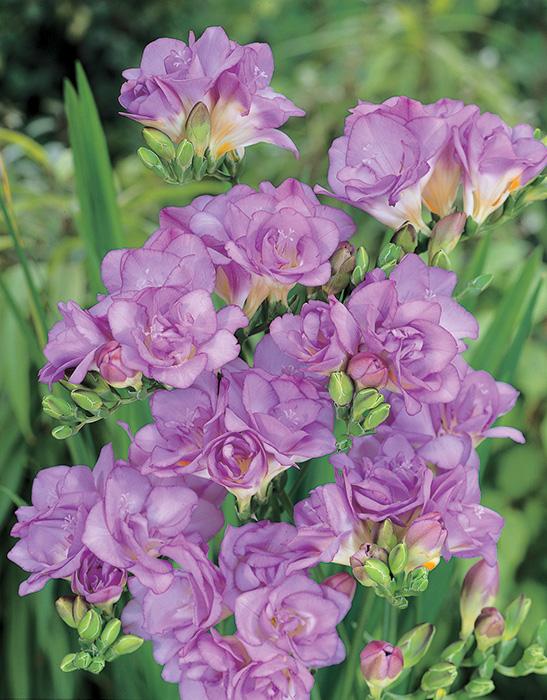 【2月後半咲き】球根 八重咲きフリージア ブルー(青) 10球セット 寒い時期から葉を出し、美しき香りの花を咲かせる人気のお花!【初心者OK】