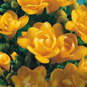 【2月後半咲き】球根 八重咲きフリージア イエロー 10球セット 寒い時期から葉を出し、美しき香りの花を咲かせる人気のお花!【初心者OK】