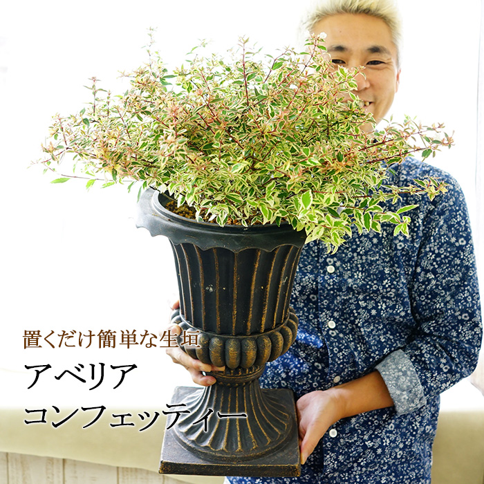 【7月中旬より出荷】【5鉢セット】置くだけ簡単な生垣 アベリア コンフェッティー 斑入り 7号 素敵な鉢で。 暑さに強い 寒さに強い 鉢植え 毎年咲く 植木