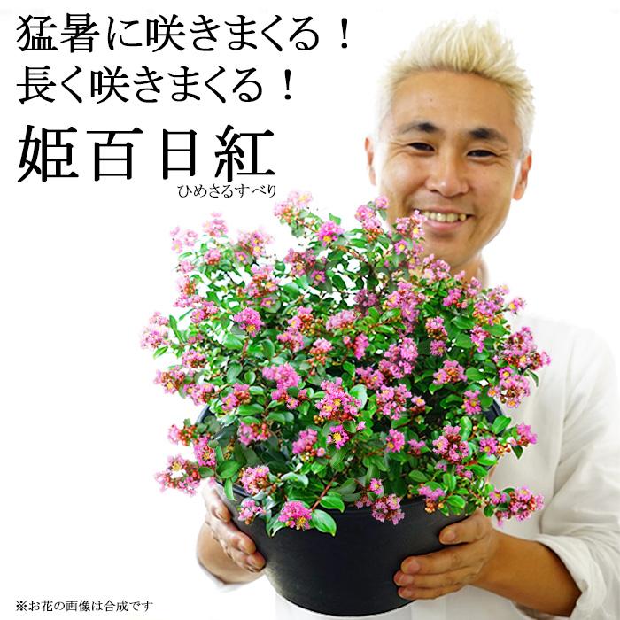 猛暑に咲きまくる!姫サルスベリ 9号鉢 長く咲きまくる!鉢植えで楽しむ百日紅【同梱・ラッピング不可】
