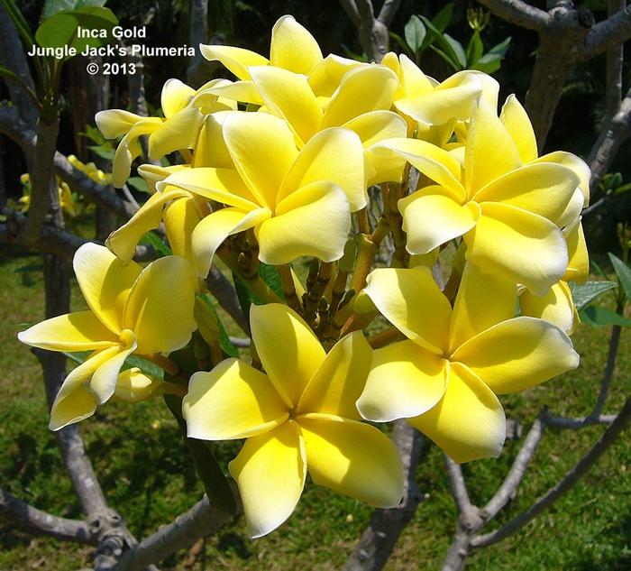 プルメリア 苗 インカゴールド Inca Gold 5寸 1鉢 苗木 産地直送 タイのジャングルジャックス社の信頼のブランドです! 鉢植え 未開花株 ハイワイアンレイフラワー フランジパニ