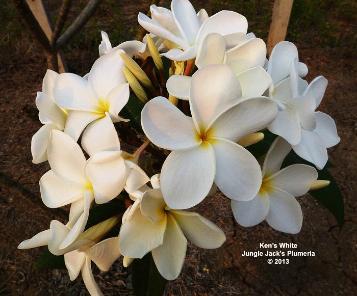 プルメリア ケンズホワイト Ken's White 5寸 1鉢 苗木 産地直送 タイのジャングルジャックス社の信頼のブランドです! 鉢植え 未開花株 ハイワイアンレイフラワー フランジパニ