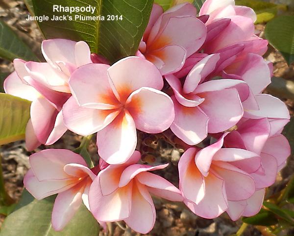 プルメリア 苗 ラプソディ Rhapsody 5寸 1鉢 苗木 産地直送 タイのジャングルジャックス社の信頼のブランドです! 鉢植え 未開花株 ハイワイアンレイフラワー フランジパニ