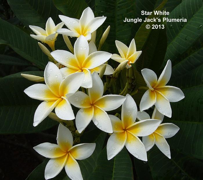 プルメリア スターホワイト Star White 5寸 1鉢 苗木 産地直送 タイのジャングルジャックス社の信頼のブランドです! 鉢植え 未開花株 ハイワイアンレイフラワー フランジパニ