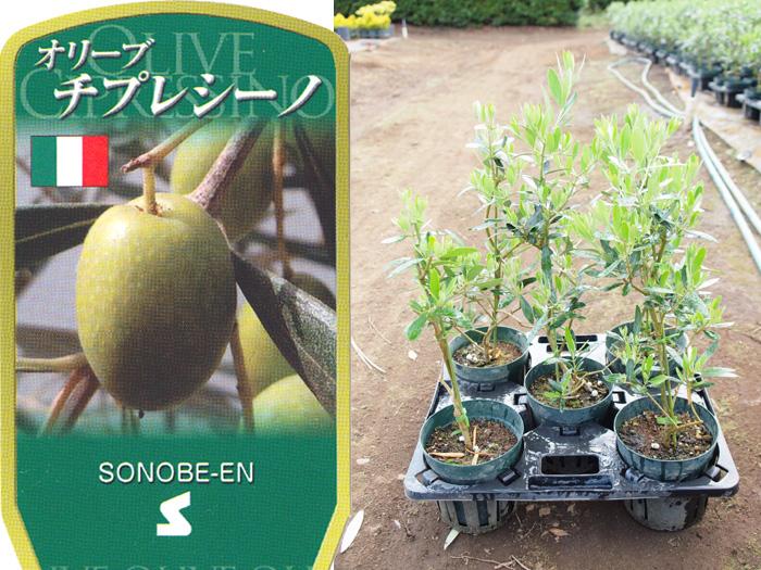 オリーブ チプレッシーノ 6寸 5鉢セット オリーブの木 苗木 鉢植え【ラッピング・メッセージカード不可】