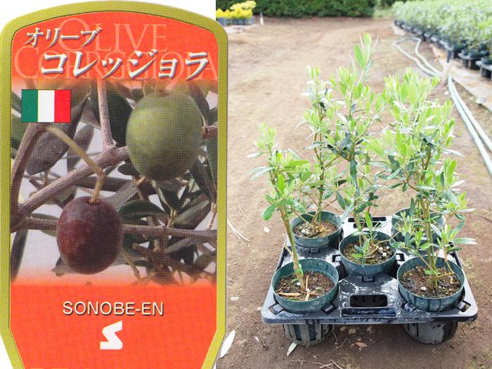 オリーブ コレッジョラ 6寸 5鉢セット オリーブの木 苗木 鉢植え【ラッピング・メッセージカード不可】