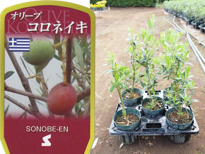 オリーブ コロネイキ 6寸 5鉢セット オリーブの木 苗木 鉢植え【ラッピング・メッセージカード不可】