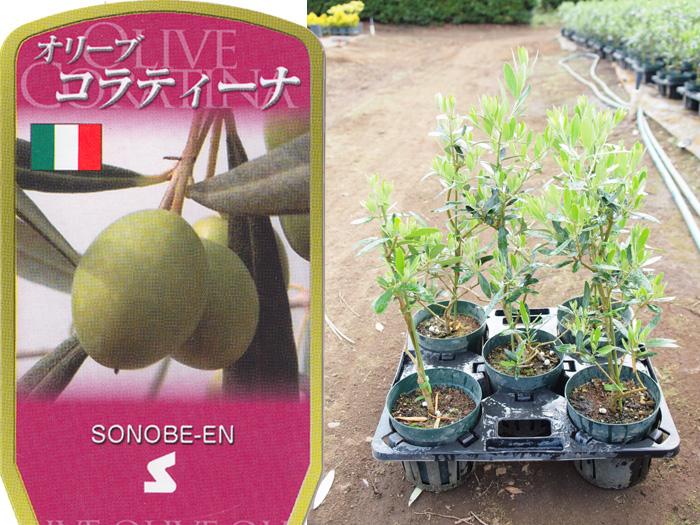 オリーブ コラティーナ 6寸 5鉢セット オリーブの木 苗木 鉢植え【ラッピング・メッセージカード不可】