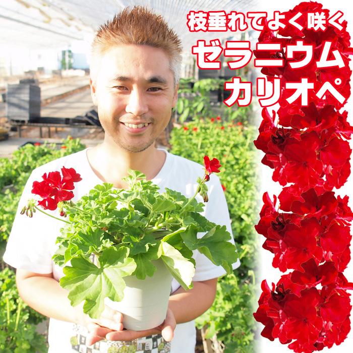 【まとめ買い10鉢セット】よく咲くゼラニウム カリオペ 5号鉢×10個 プランター5個分作れます【ラッピング・メッセージカード不可】