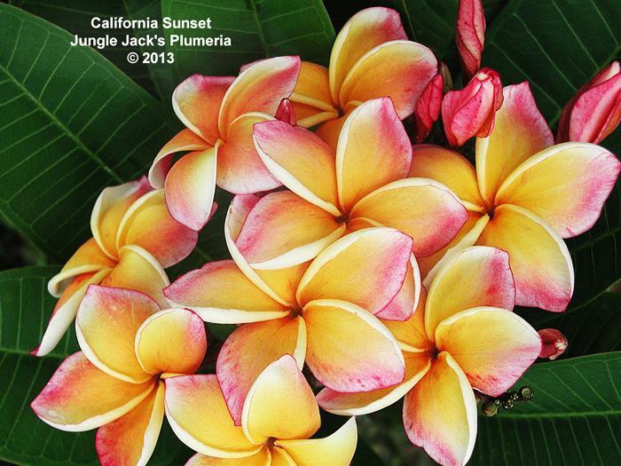 プルメリア 苗 カリフォルニアサンセット California Sunset 5寸 1鉢 苗木 産地直送 タイのジャングルジャックス社の信頼のブランドです! 鉢植え 未開花株 ハイワイアンレイフラワー フランジパニ