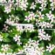 【送料無料】 日々草 (ニチニチソウ) 夏花火 ホワイトレッドアイ 3.5号ポット  苗 6苗セット 花苗 花壇向き 暑さに強い