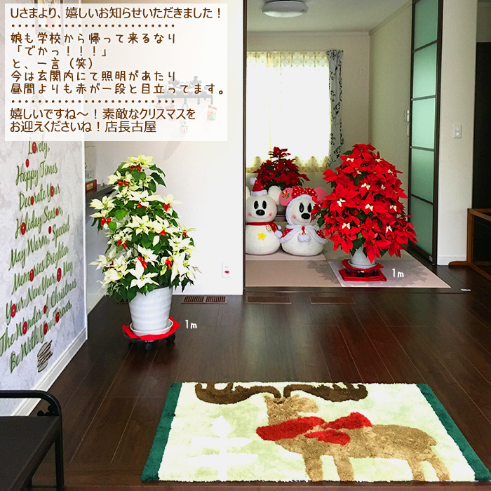 【送料無料】お歳暮やギフトにも!本物のポインセチアで仕立てたクリスマスツリー 背丈1メートル 9号鉢植え ハートンレッド 赤いポインセチア 大鉢 プリンセチア【育て方(管理マニュアル)クリスマスカード付・ラッピングなし】【ヤマト便出荷】