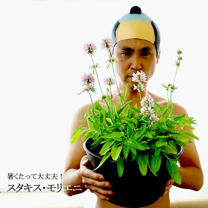 【予約商品】でか鉢スペシャル!暑さにモーレツに強い! スタキス モリエニ 9号鉢寄せ(27センチ鉢植え) 毎年真夏に咲いてます!お庭が狭いと今まであきらめていたアナタ!これで、玄関先で楽しめますよ! 耐寒性宿根草