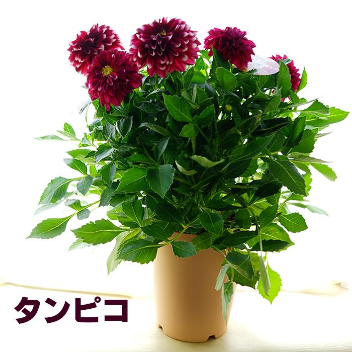 こんもりダリア 全5色 5号鉢(直径15センチ) 毎年咲いてくれる!マキシ系 花壇にも植え付け可能なパフォーマンス!【ラッピング・メッセージカード不可】