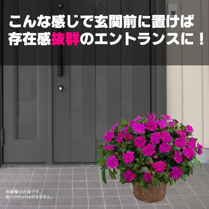 サマーインパチェンス 7号 全10色! 玄関用の大鉢仕立て 夏 鉢植え 暑さに強い花 日陰 室内もOK サンパチェンス インパチェンス【代引き不可】