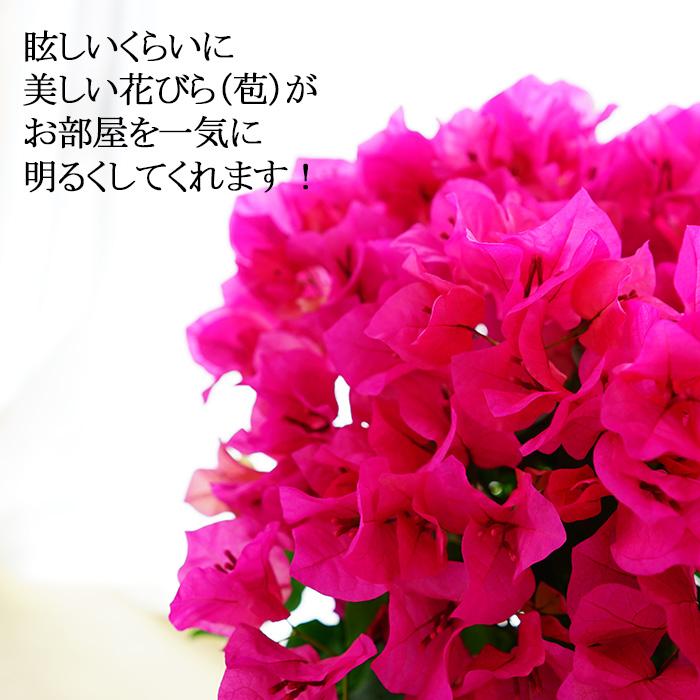【7月末納品まで】窓際に飾るブーゲンビレア(ブーゲンビリア) 5号 お部屋が一気に明るくなります! 夏 鉢植え 毎年咲く 花