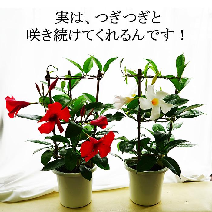 マンデビラ デプラデニア 2鉢セット!お好きな花色でお届けします!南国気分満喫! サンパラソルはサントリーの登録商標ですので、これとは違います。【ラッピング・メッセージカード不可】