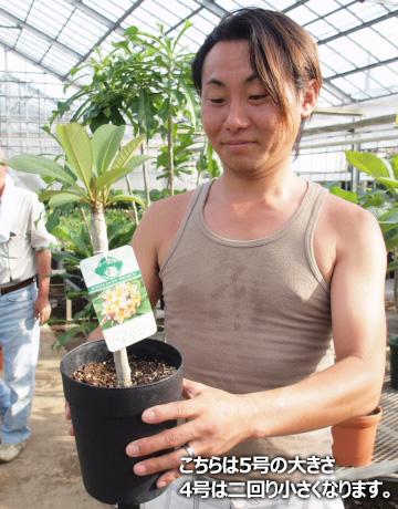 プルメリア 苗 エキゾチカ Exotica 5寸 1鉢 苗木 産地直送 タイのジャングルジャックス社の信頼のブランドです! 鉢植え 未開花株 ハイワイアンレイフラワー フランジパニ
