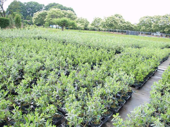 オリーブ アルベキーナ 6寸 5鉢セット オリーブの木 苗木 鉢植え【ラッピング・メッセージカード不可】