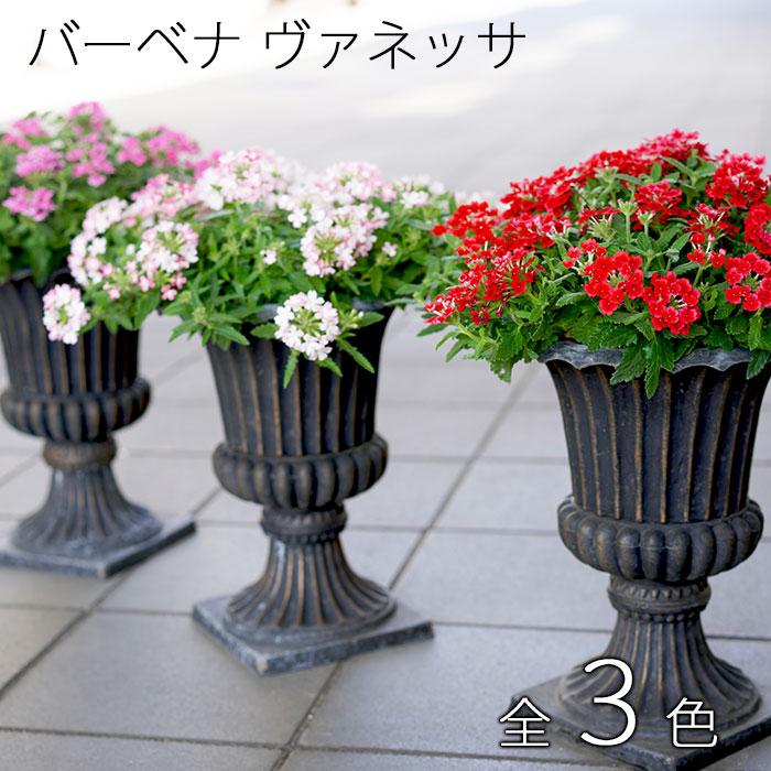 【新品種!現品のみ】酷暑に強い!毎年楽しめる!宿根バーベナ ヴァネッサ 全3色!贅沢スタンド鉢仕立て