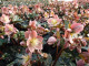 オトナ色のクリスマスローズ パウロ 蕾付きから開花株 5寸 鉢植え 苗 ブランド品種が目白押し! クリスマスローズ ニゲル アンティークカラー【ラッピング・メッセージカード不可】