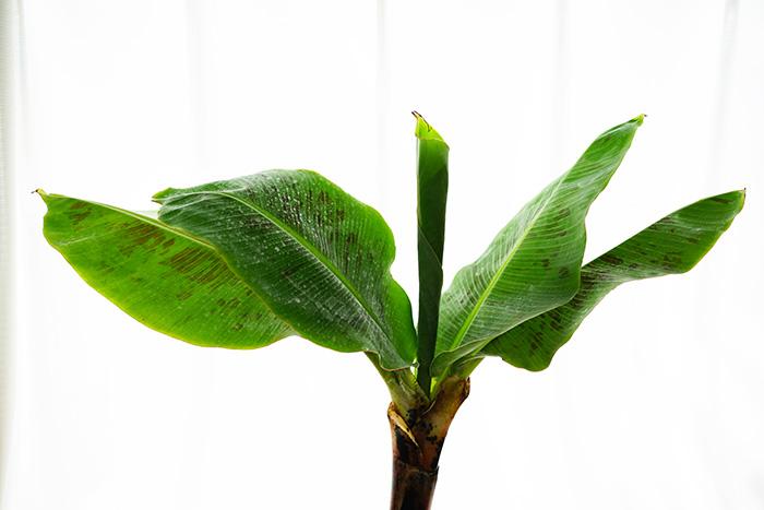 コンパクトで育てやすい ドワーフモンキーバナナ 6号大苗(鉢つき)【代引き不可】