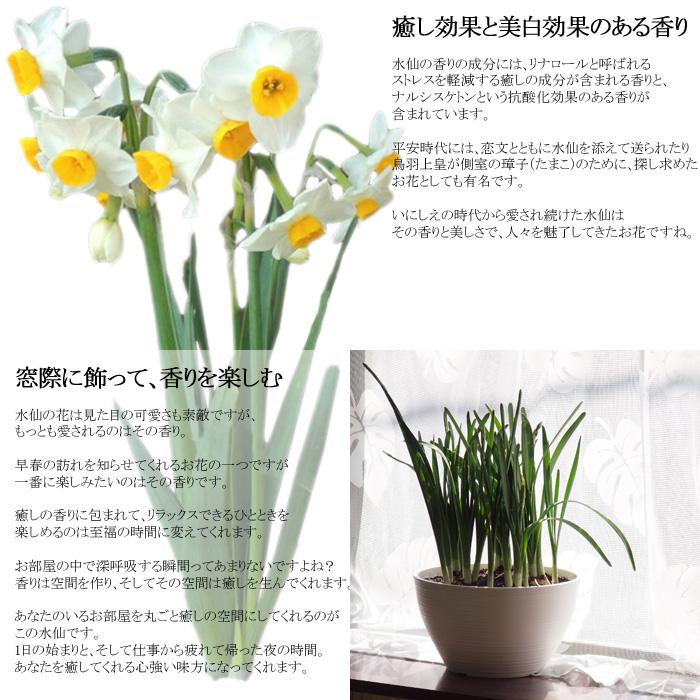 ふわり香る日本水仙の大鉢8号 大球根5球植え たくさん咲きます!毎年咲きます!地植えもOK!