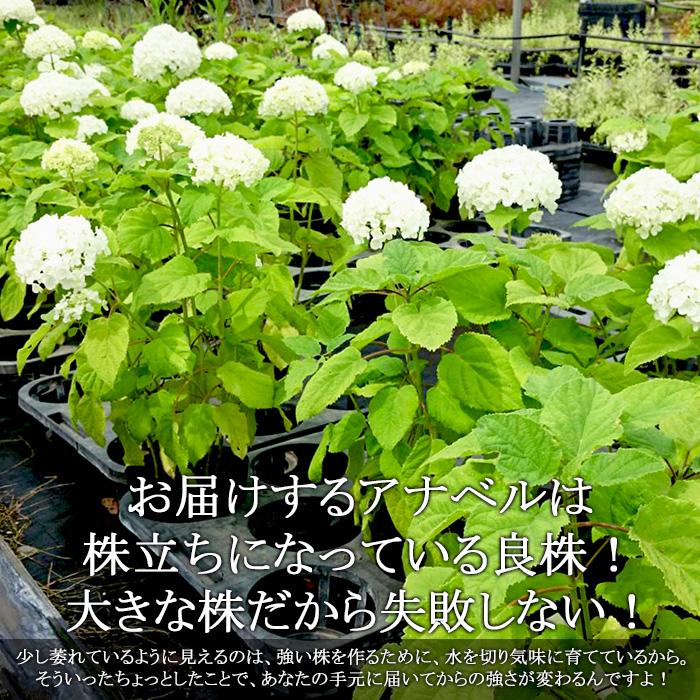 白いアナベル 花ナシ大株5号苗 紫陽花: 【ラッピング・メッセージカード不可】