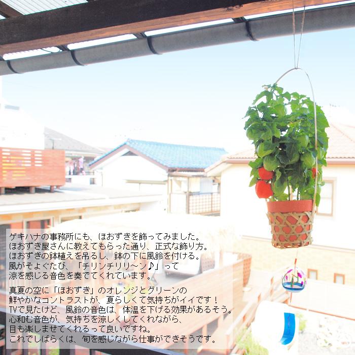 お中元にも♪ゲキハナのほおずき市!浅草寺のほおずき市と同仕様 ほおずきの鉢植え(風鈴・育て方説明書つき)です! 【代引き・ラッピング・メッセージカード不可】