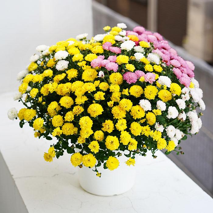 【送料無料】可愛い! ガーデンマムの3色寄せ植え 6号【蕾でお届け】【ラッピング・メッセージカード不可】