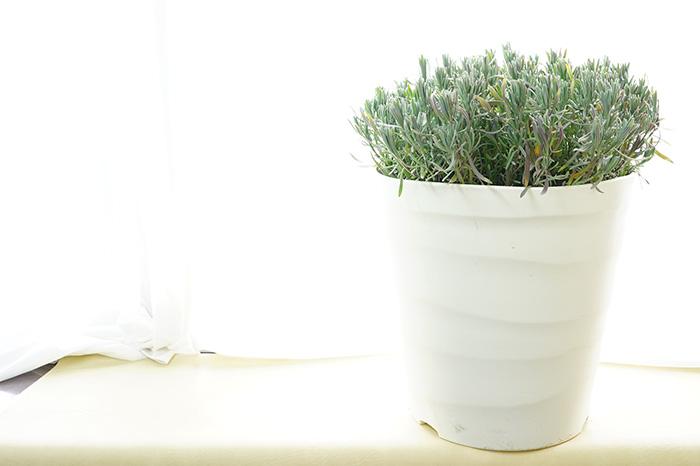 あなたが咲かせる!イングリッシュラベンダー グロッソ 10号特大鉢(30センチ鉢)超耐暑性 宿根草 【ラッピング・メッセージカード不可】