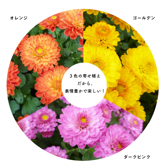可愛い! ガーデンマムの3色寄せ植え 6号カラフルミックス(黄橙桃)【ラッピング・メッセージカード不可】