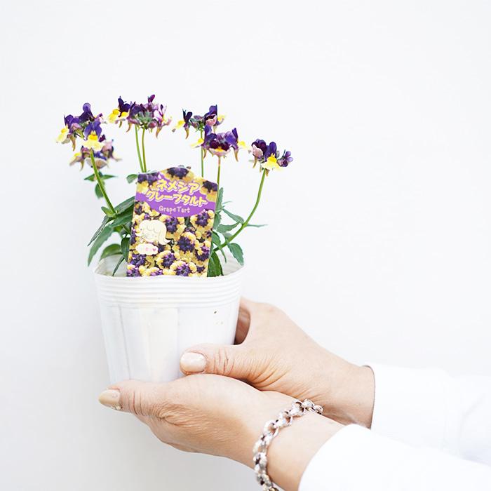 【送料無料】香るネメシア グレープタルト 3.5寸 6苗セット【ラッピング・メッセージカード不可】