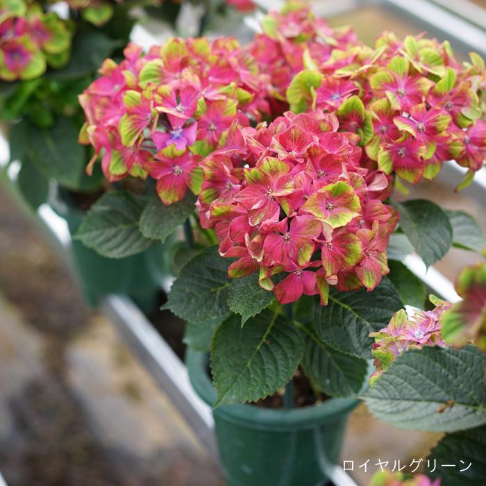 季節限定 全8色!秋色あじさい 5号鉢 【このアジサイは秋色に変化していきます。画像の花色と違い秋色の紫陽花となりますのでご注意を。メッセージカードなどのギフト不可】