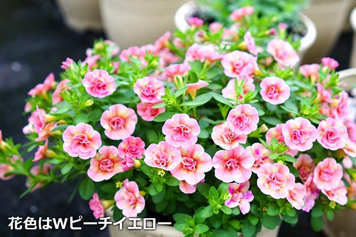 6苗セット 全8色 3倍花咲く!八重咲きカリブラコア ティフォシー マウンティングタイプ 3.5号苗×6個セット【代引・ラッピング・メッセージカード不可】