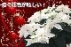 純白の特大は珍しいです!ゲキBIG!プリンセチア クリスタルスノー 10号鉢 純白の華やかさと大鉢の迫力【寒冷地配送・時間指定・代引き不可】