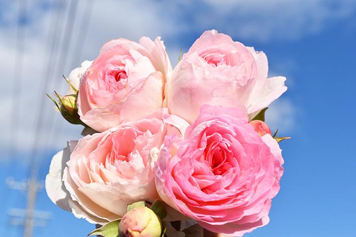 香りのバラ アムールドゥランジュ ばら 6号 大苗 アムールドウランジュ アムール ロゼット咲き つるバラ 四季咲き