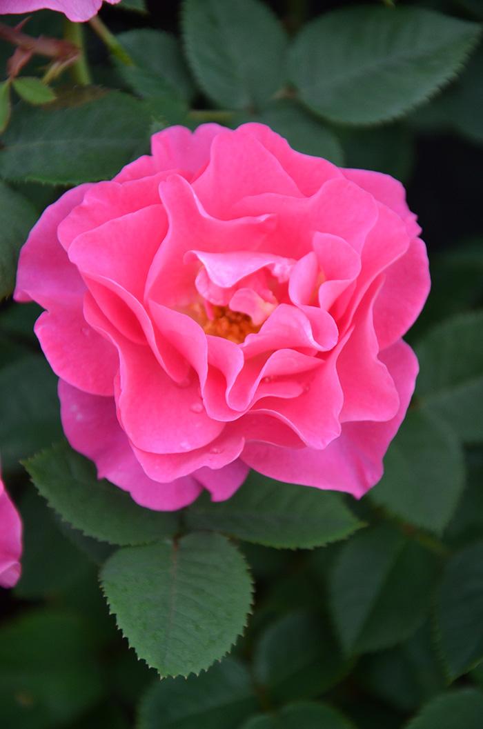 香りのバラ アリュール ばら 6号 大苗 ピンク いい香り ブッシュ 四季咲き
