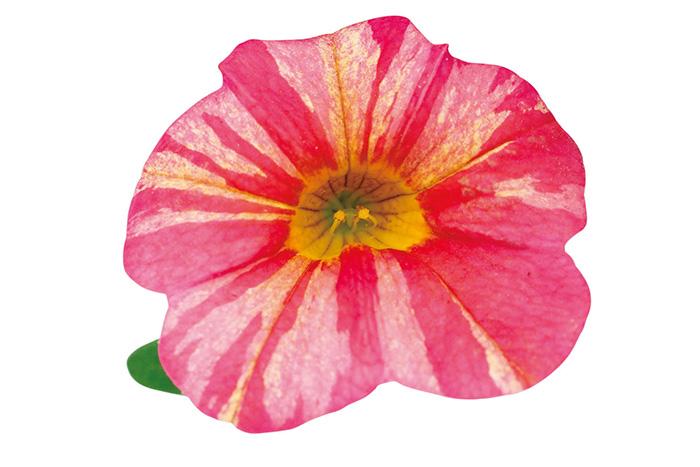 送料無料 スーパーベル リッチサンライズ 8号大鉢 ペチュニア カリブラコア 鉢植え