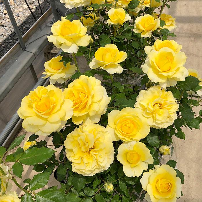 香りのバラ ラルーチェ ばら 6号 大苗 イエロー ブッシュ 四季咲き いい香り