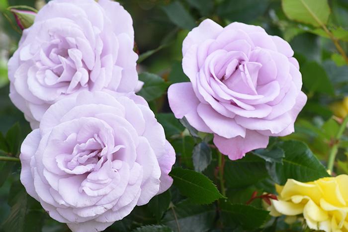 香りのバラ ラフィーネ ばら 6号 大苗 パープル よく咲く 四季咲き いい香り