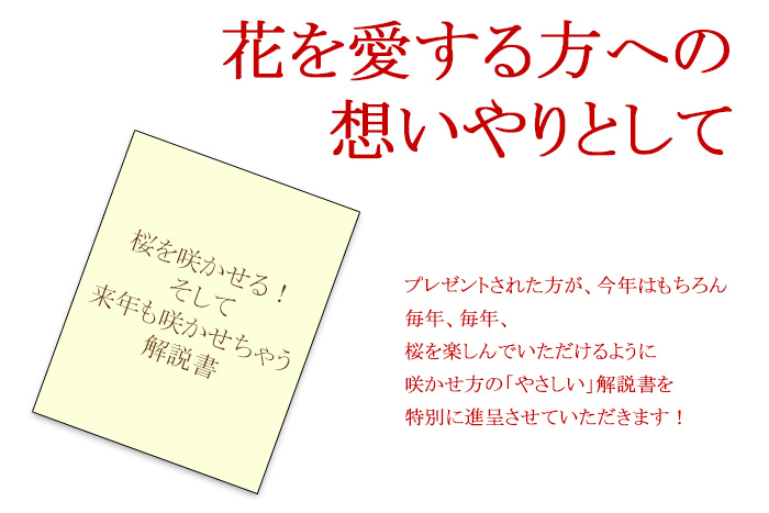 【蕾の状態です】冬咲きの八重 桜 盆栽 プレゼント(一才桜 旭山) 2月に開花するように仕立てられたサクラ(さくら)です!陶器鉢仕立て!