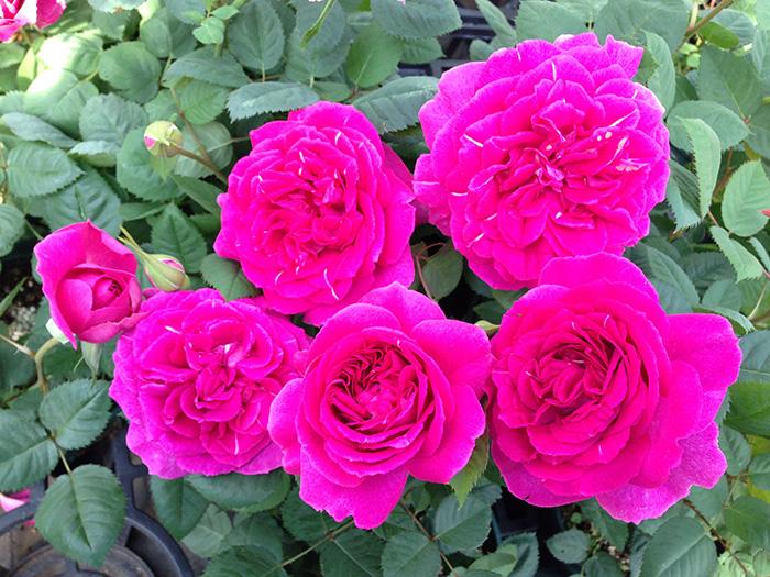 香りのバラ レジーナ ばら 6号 大苗 ピンク よく咲く 四季咲き いい香り