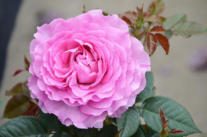 香りのバラ フェリーチェ ばら 6号 大苗 ピンク ブッシュ 四季咲き いい香り たくさん咲く 丈夫